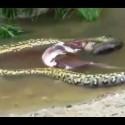 Anaconda regurgitando una vaca