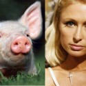 Cambio radical: cerdo VS paris hilton