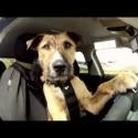 El perro que conduce