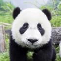 Disfrutando como un ¿panda?