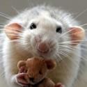 ¿Quien dice que las ratas no pueden ser bonitas?