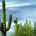 El hombre contra el cactus