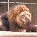 El león visita al dentista