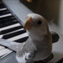 La cacatúa que canta