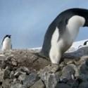 El pingüino ladrón