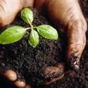 Plantar un pino