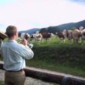 Vacas felices