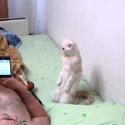 El gato patritota