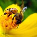 Pobres abejas