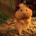 La postura del hamster