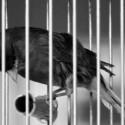 Como pájaro enjaulado