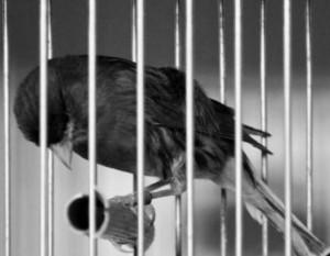Como pájaro enjaulado - tontaKos.com